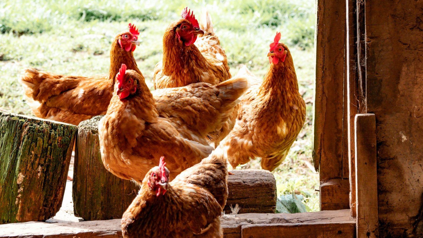 Pluimveehouders moeten kippen binnenhouden vanwege vogelgriep in Utrecht