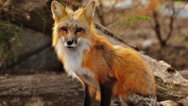Belgische wildcamera's spotten een wel héél wild tafereel