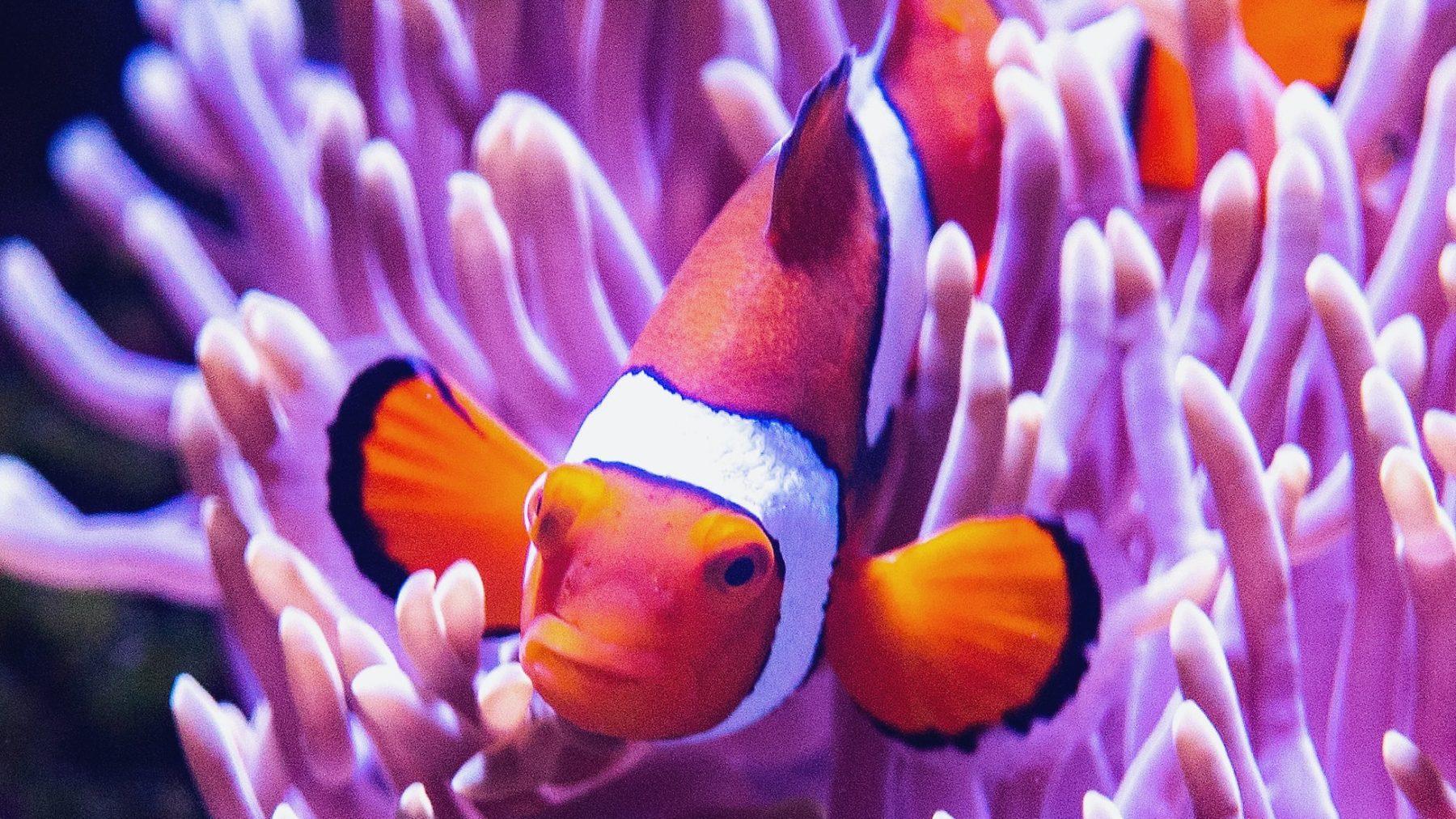 Goed nieuws voor Nemo: koraalrif van 500 meter ontdekt in Australië