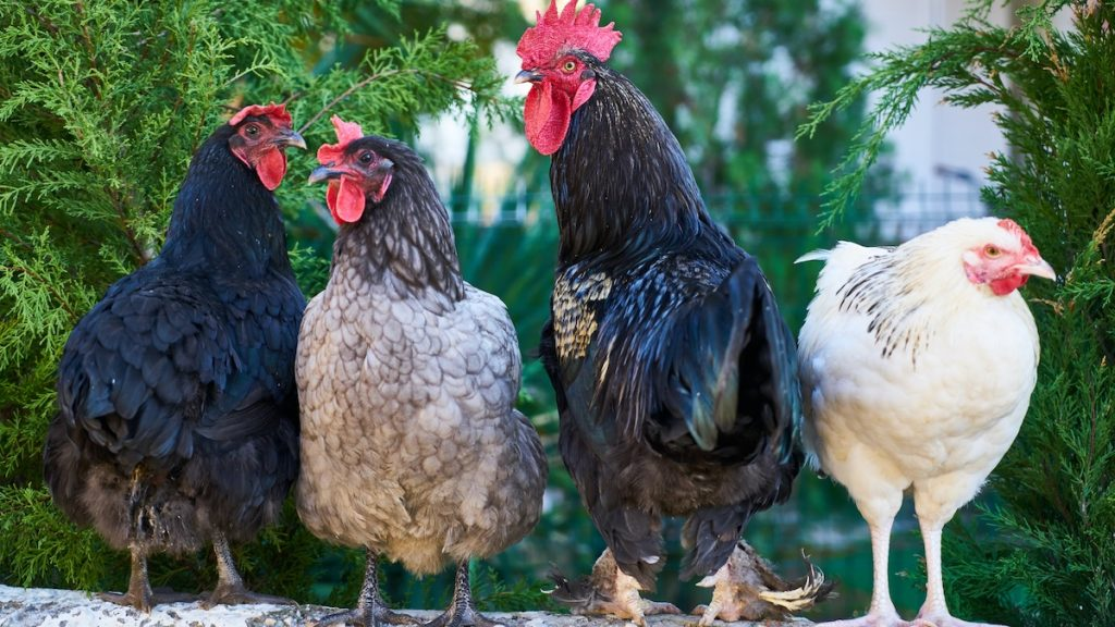 Chaotische reportage over Rotterdamse kippen gaat viral: 'Kost maar 5 euro, zo'n kippetje'