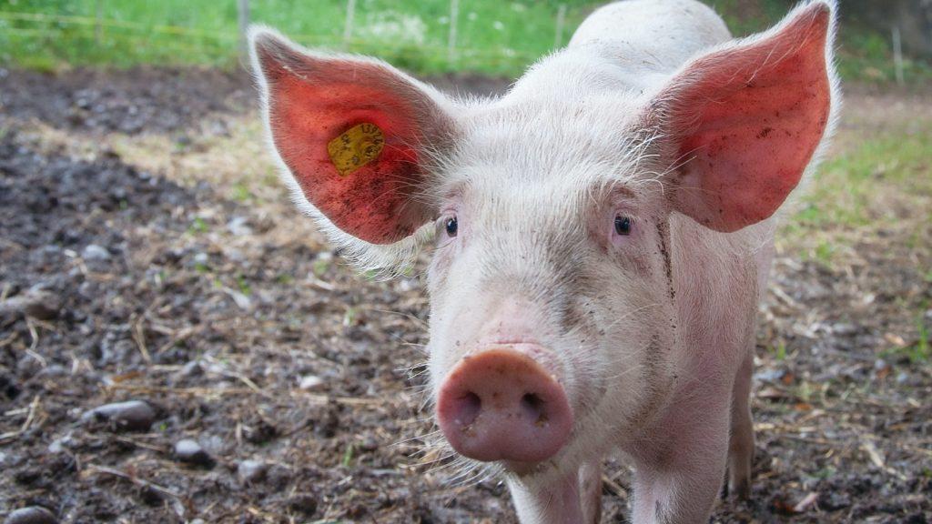Tientallen loslopende varkens door gekantelde vrachtwagen in Den Bosch