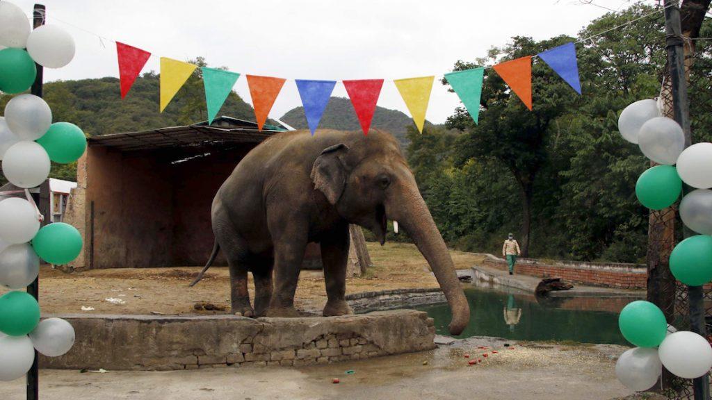 'De eenzaamste olifant ter wereld' Kavaan verhuist naar olifantenreservaat