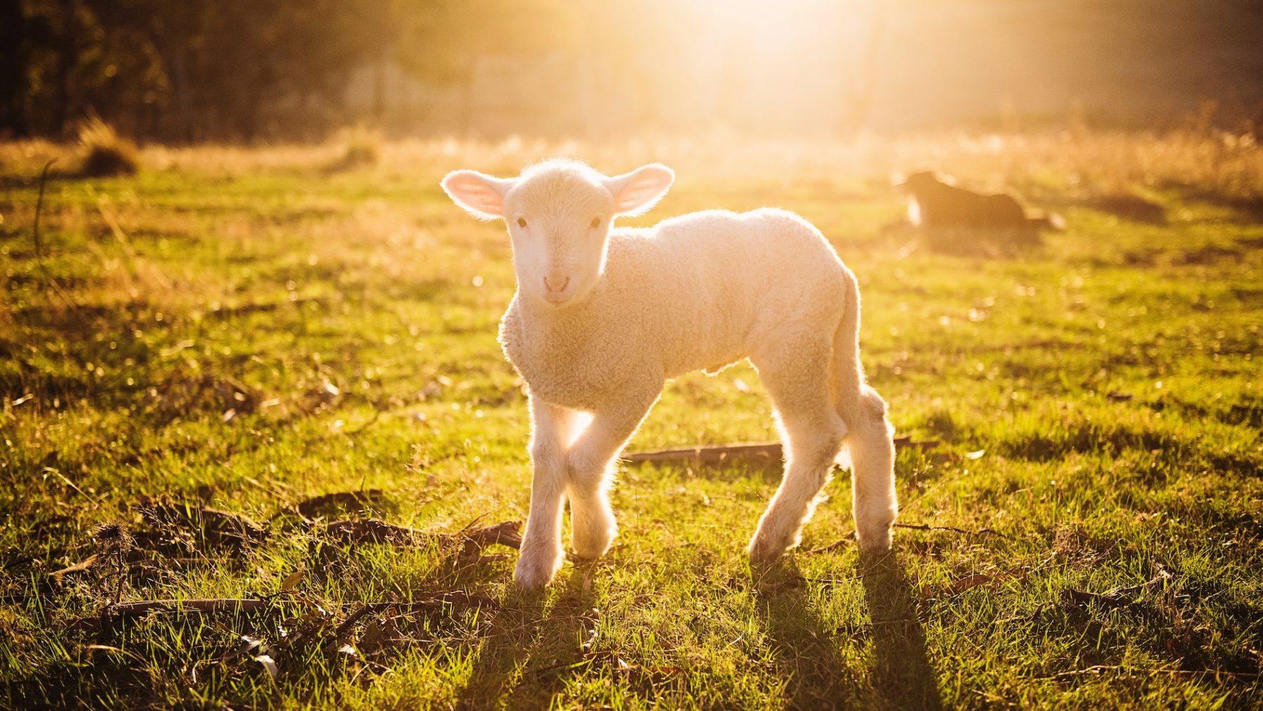 schapen aaien vrouw droom video twitter