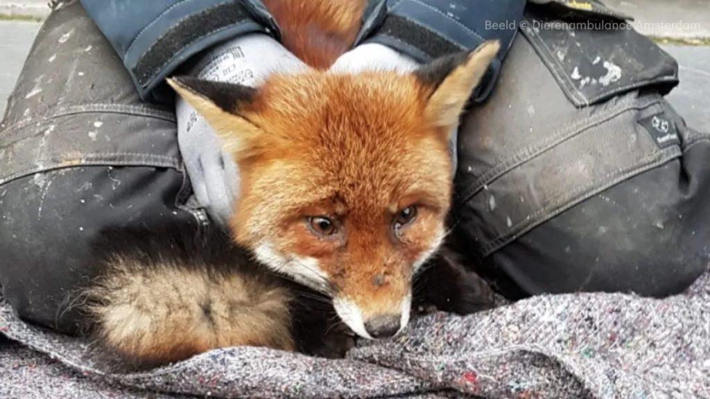 Dierenambulance redt verdwaalde vos in centrum Amsterdam