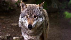 Friese boeren halen tienduizend euro op voor gigantisch wolvenhek rondom de provincie