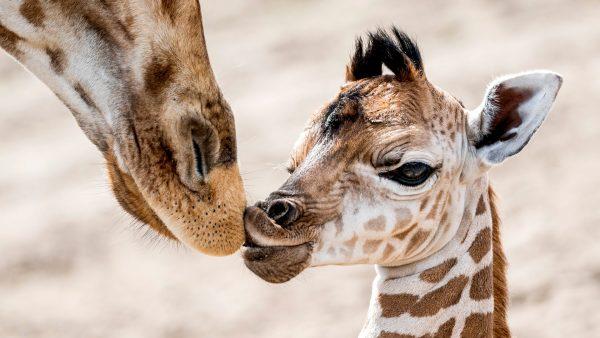 Zeldzame Nubische giraffe geboren in Safaripark Beekse Bergen en ze heet Christine