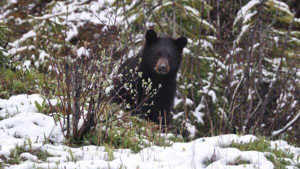 zwarte-beer-in-bloemenveld