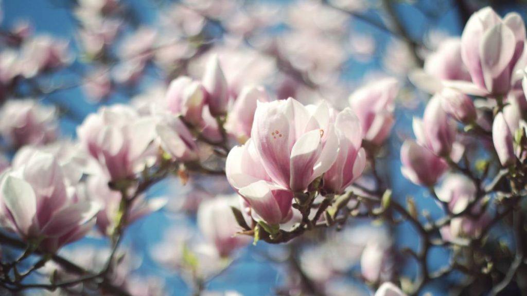 magnoliasiroop maken