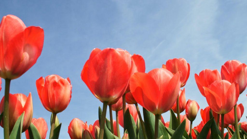 Leuk voor Insta: hier vind je de mooiste tulpenvelden voor de mooiste foto's