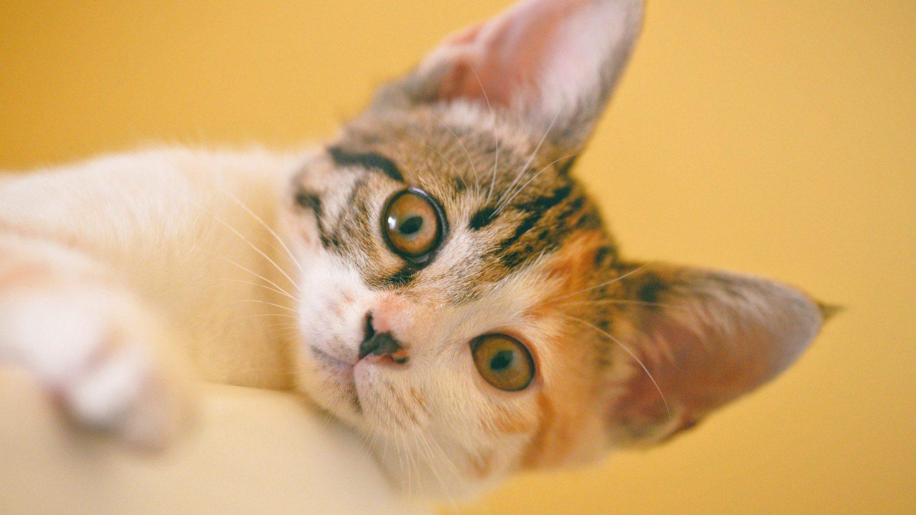 Jolanda's kat zit een week lang ingemetseld in een spouwmuur: 'Ik hoorde de paniek'