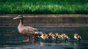 Moedereend en haar kuikens mishandeld