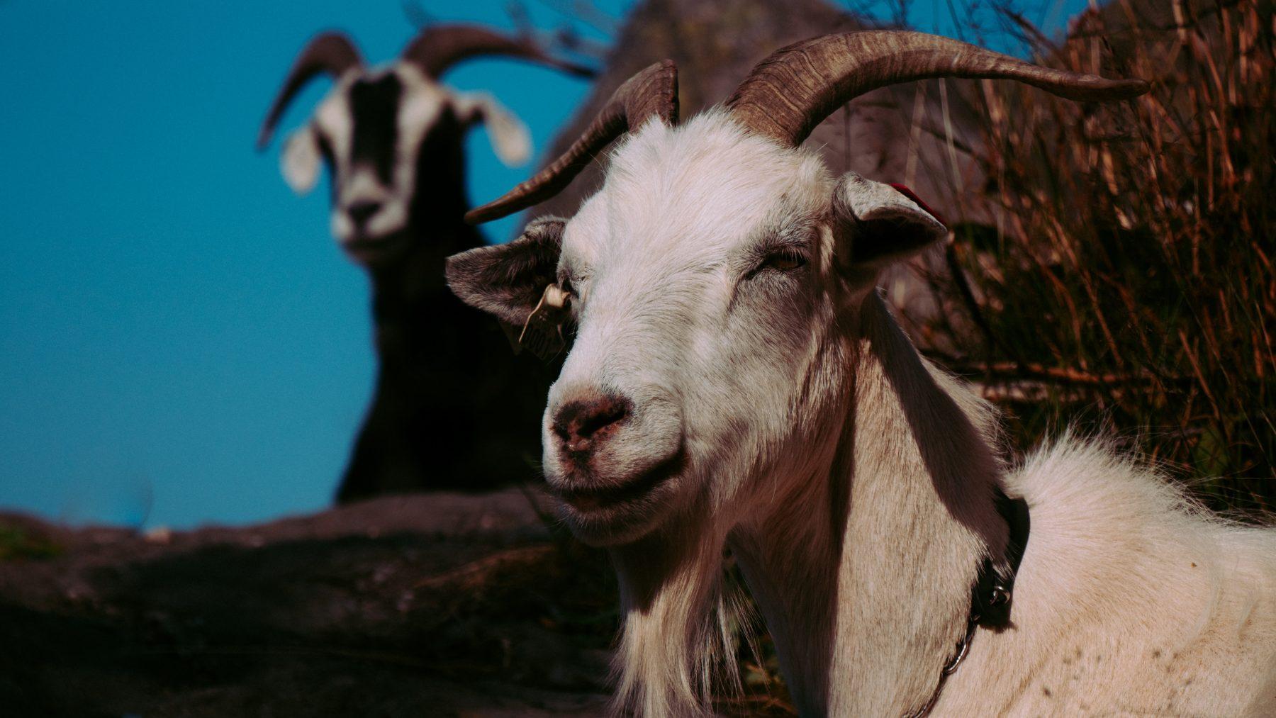 geiten gedumpt spaarnwoude