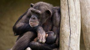 Thumbnail voor Aapjes kijken: Beekse Bergen verwelkomt chimpanseejong