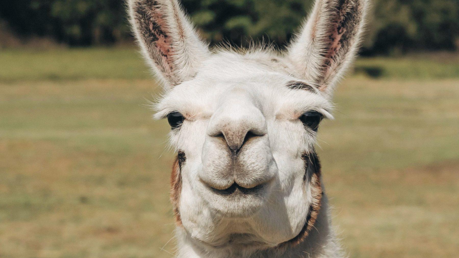 levensgrote-alpaca-te-koop
