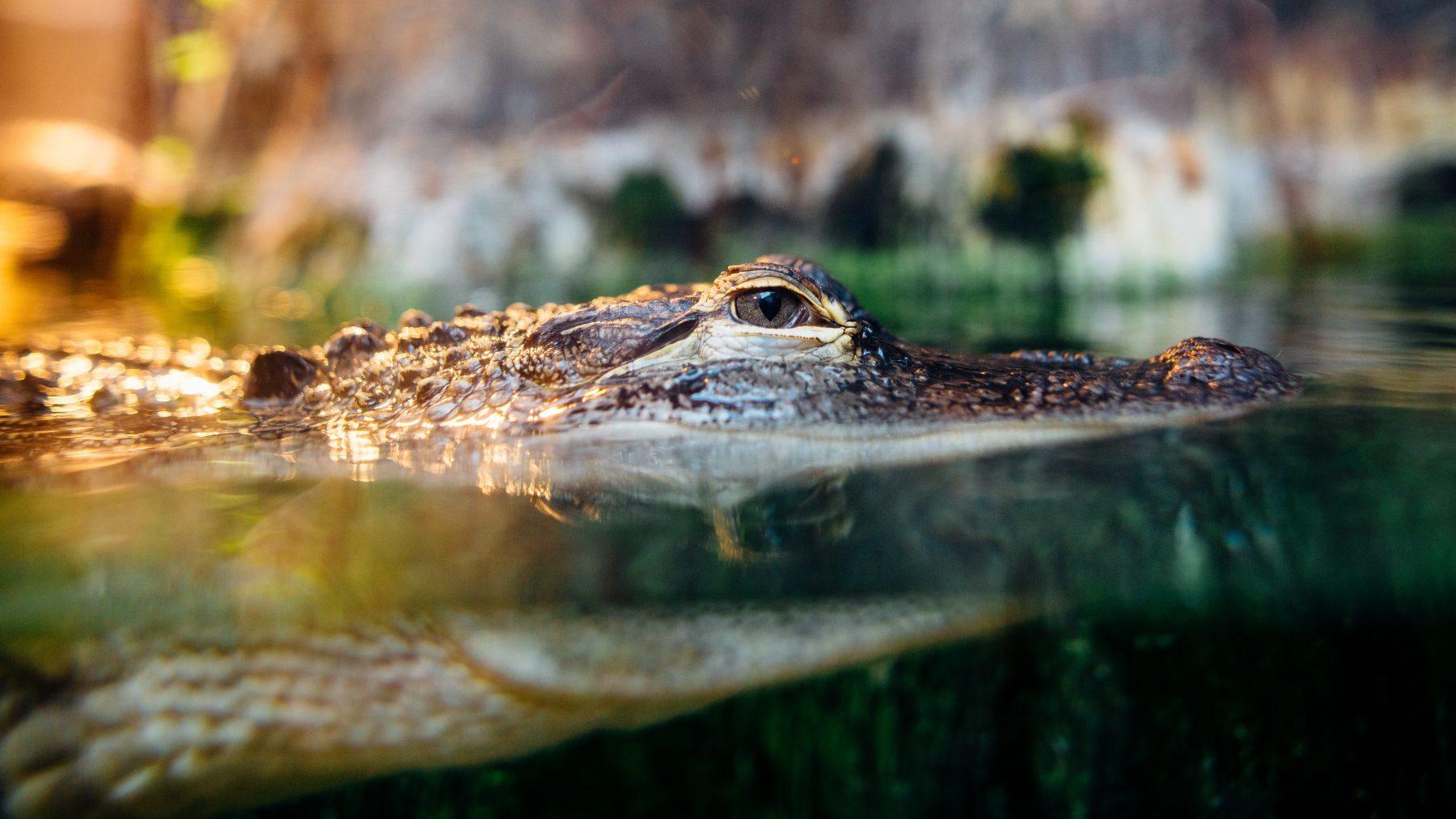 krokodil grijpt vrouw tweelingzus redt leven