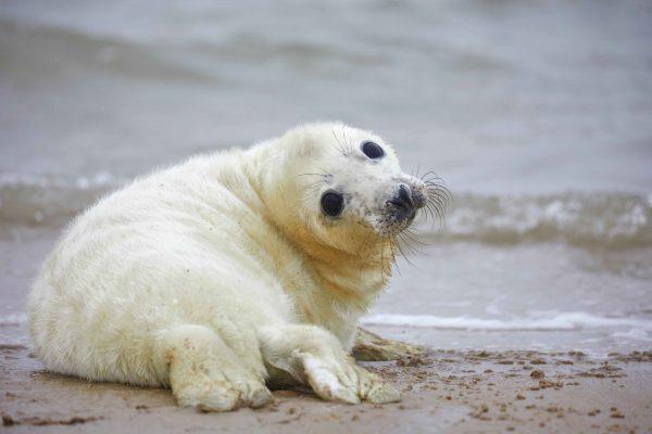 waddeneilanden-zeehond