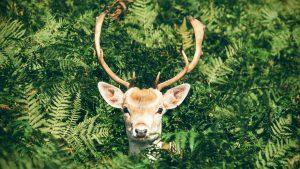 Thumbnail voor Geschrokken naturisten verdwalen na ontmoeting met hert