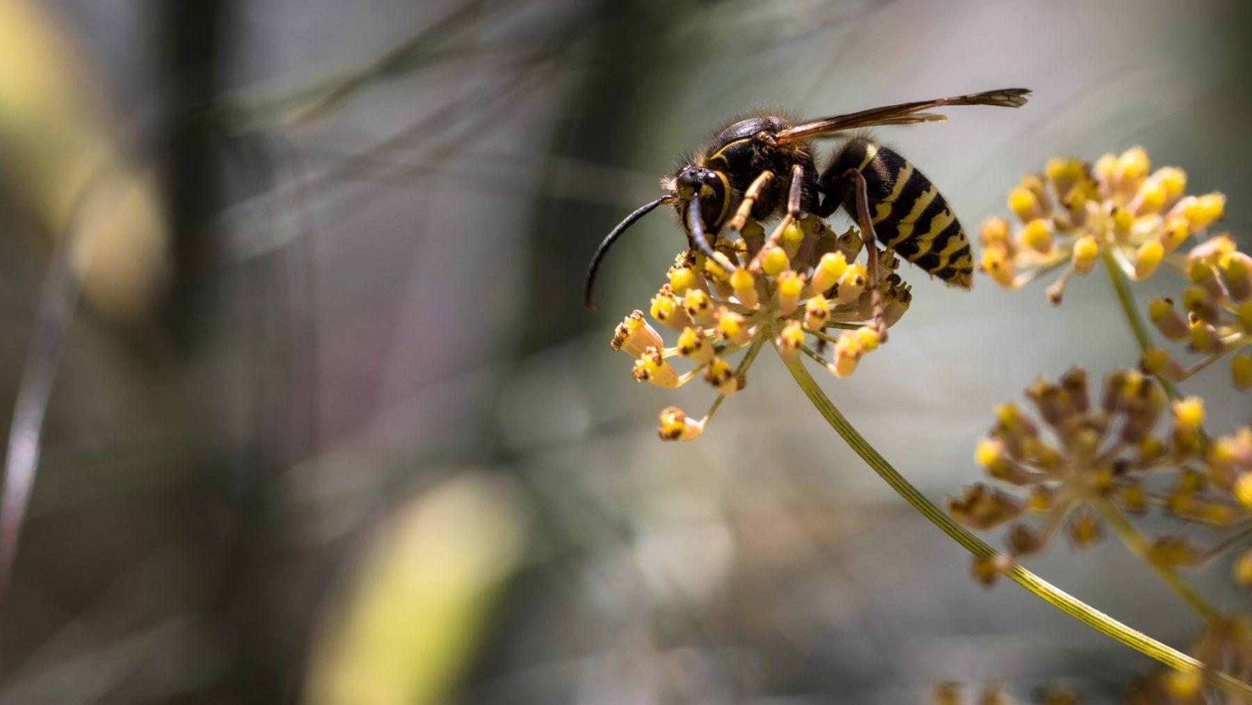 Gemeente Arnhem vind dat wespen voortaan diervriendelijk moeten worden bestreden