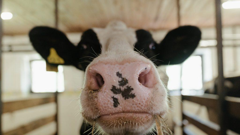 Belgische brandweer redt koe die zes dagen vastzat langs de oever van de Ourthe