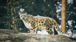 Thumbnail voor Hoestend sneeuwluipaard in Amerikaanse dierentuin blijkt besmet met corona