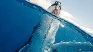 Thumbnail voor Zeeschip vaart met dode walvis op de boeg Terneuzen binnen