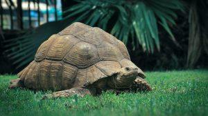 Thumbnail voor Reuzenschildpadden Hugo en Estrella hebben eerste date via FaceTime