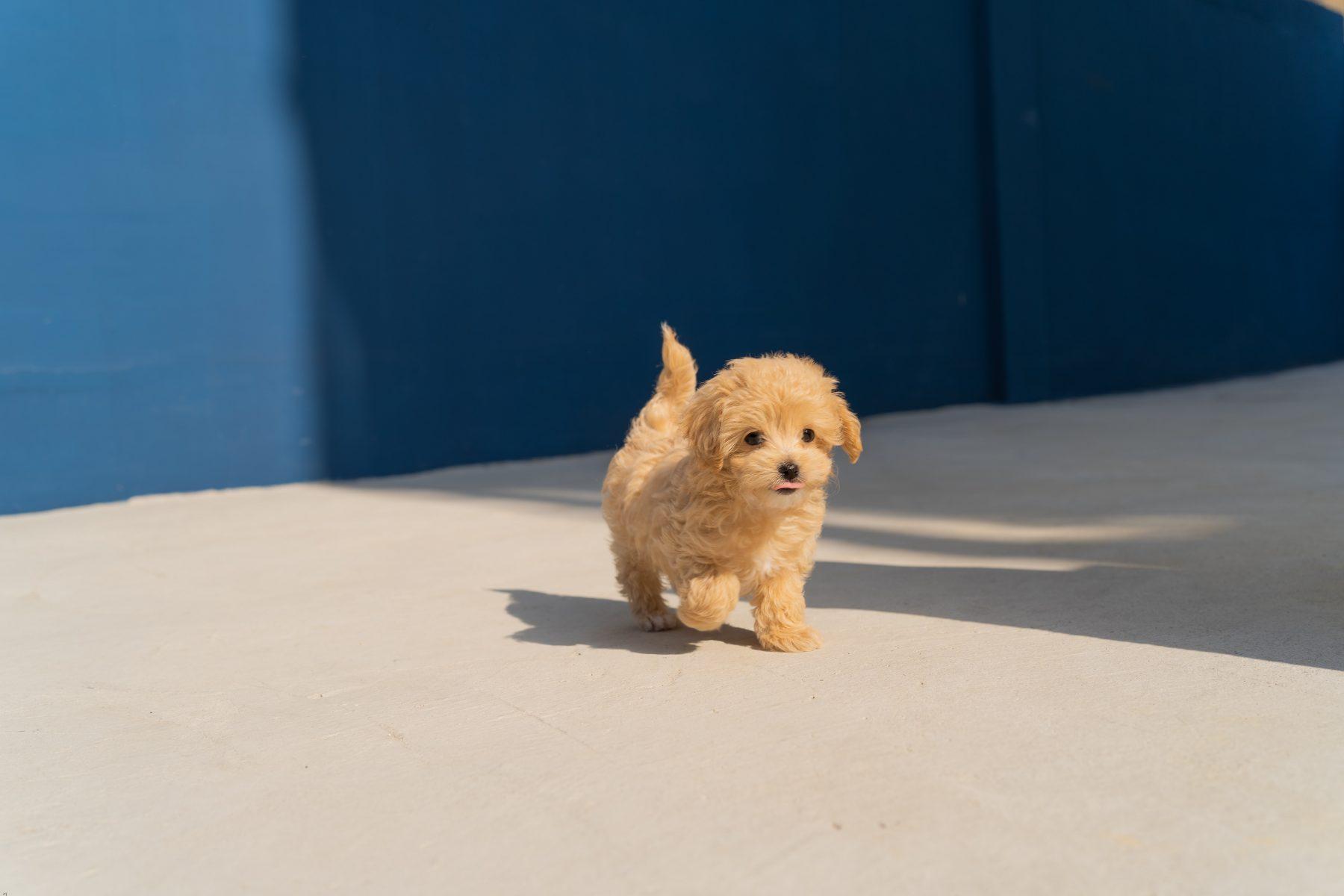 puppyhandelaren