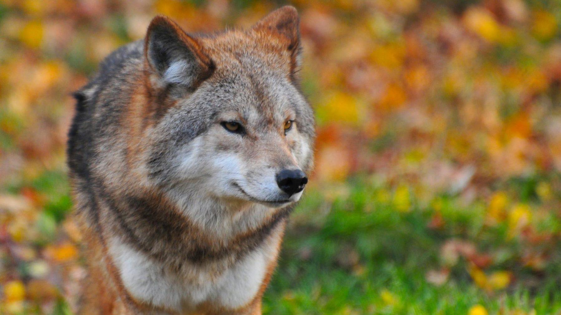 Wolf doodt moeflons gedood in Nationaal Park De Hoge Veluwe
