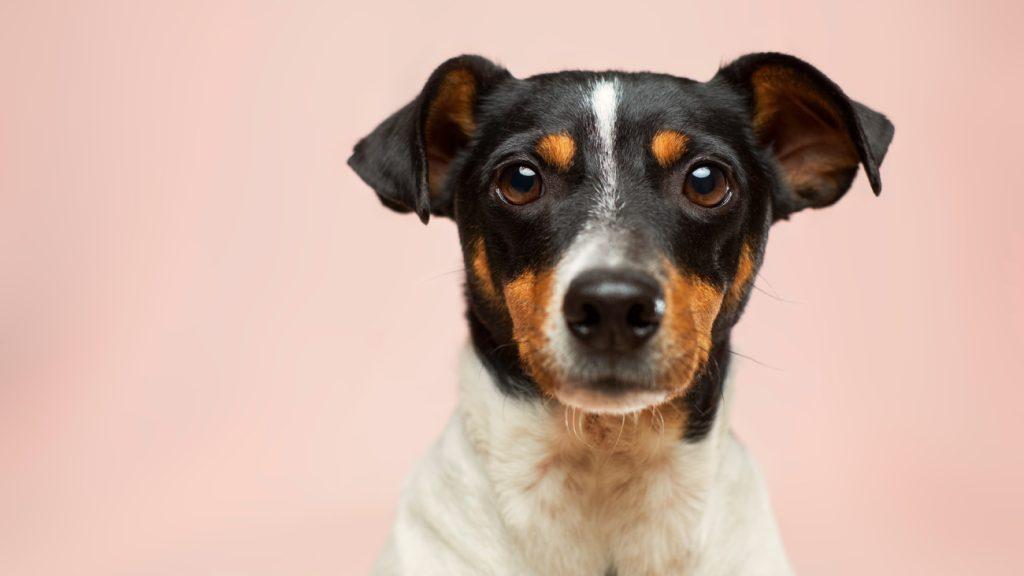 tomwoef Niet tompouce, maar 'Tomwoef' voor honden: 'Meer voor het baasje dan het dier'
