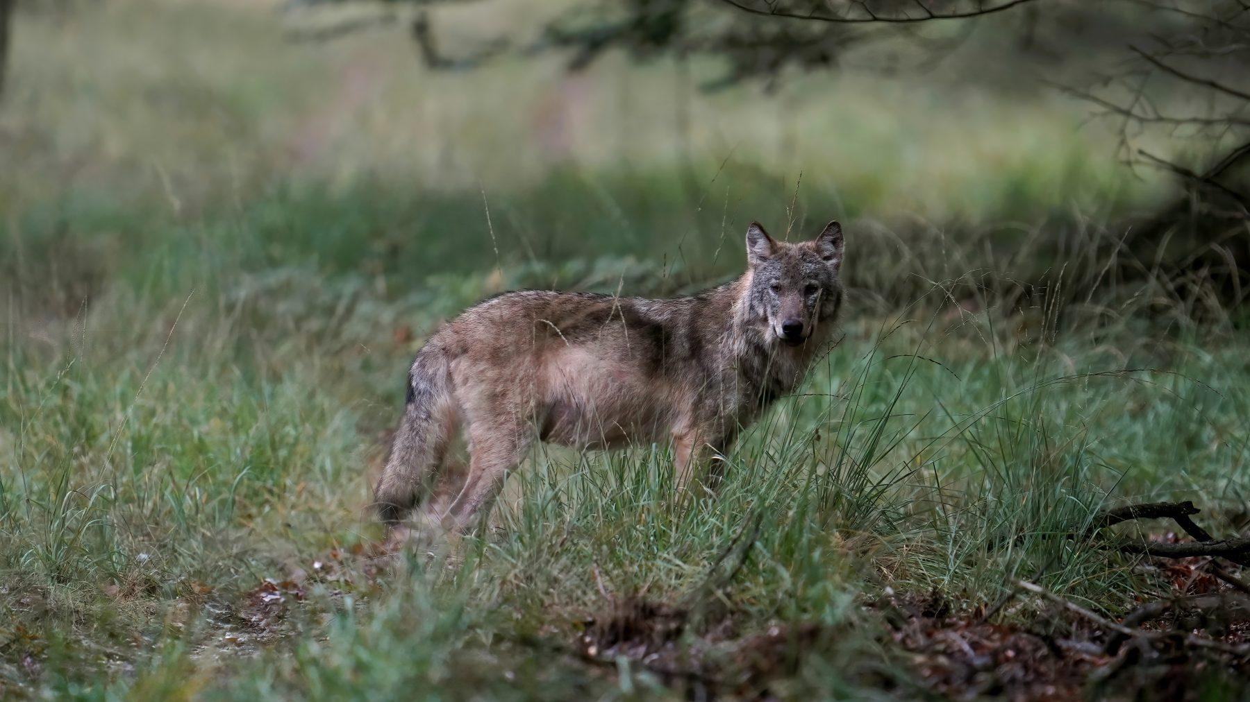 wolf terugkeer Veluwe