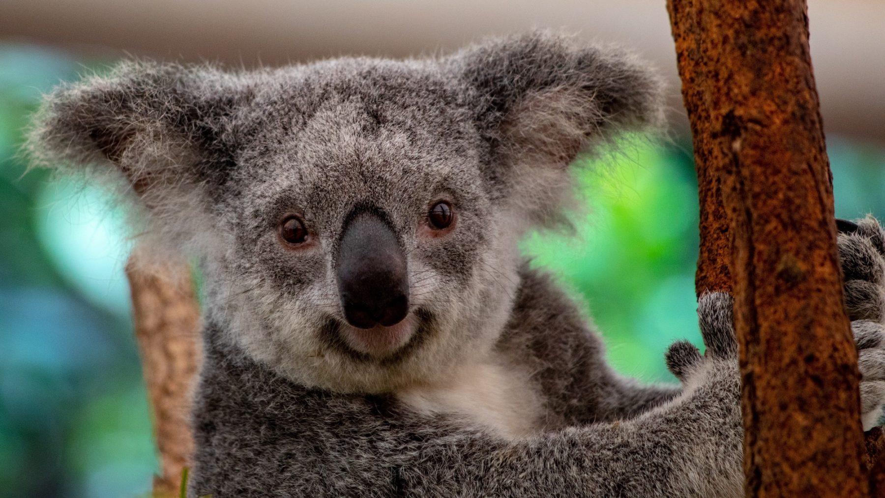 400 Australische koala's krijgen inenting tegen geslachtsziekte