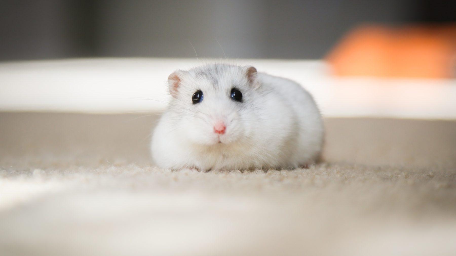 Wijnanda verkocht een hamster met toebehoren via Marktplaats: 'Regende boze reacties'