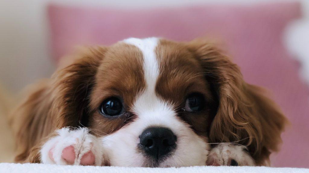 Lallen met je labradoodle: tijdens DOGtoberfest kun je borrelen met je hond