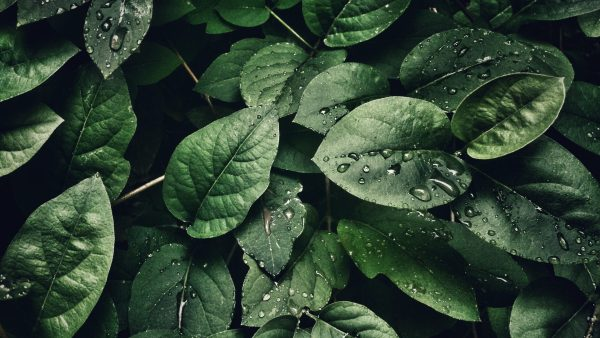 Stinkende plant in Hortus botanicus Leiden op punt om tot bloei te komen