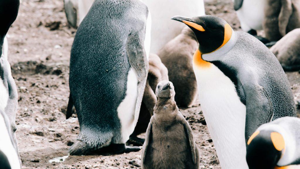 Pinguïn-babyboom in Diergaarde Blijdorp: 'Voor het eerst vier jongen'